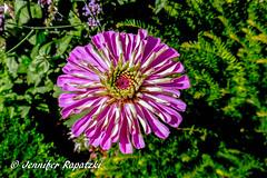 White-Violett (Bernsteindrache7) Tags: flora fauna flower park landscape outdoor garden bloom blossom blume color white lila summer panasonic lumix