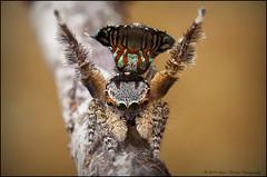 NS 3 (GTV6FLETCH) Tags: dancingspider peacockspiderdance malepeacockspiderdance peacockjumpingspider peacockspider macro manualfocus mpe65mm maratus salticidae spider canoneos5dmark2 canon canonmpe65