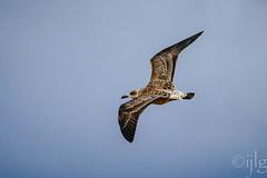18092016DSC_1075.jpg (Ignacio Javier ( Nacho)) Tags: pginafotografia gaviotas facebook aves flickr faunayflora santander cantabria espaa es