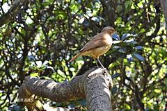 Sabi-laranjeira (Turdus rufiventris- juensis) (Maria Luiza S) Tags: bird pssaro ave passarinho ibirapuera turdusrufiventrisjuensis sabilaranjeira