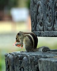 I AM THIRSTY (vijvijvij) Tags: squirrel halabidu