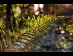 Papro/Fern (smoothna) Tags: fern papro jesie las wood smoothna d90 green autumn seson warm sunbeams