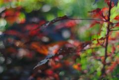 DSC_0006 (criscrot) Tags: parcsaintemarie nancy lorraine bokeh colors d200 50mm18 automne autumn couleurs