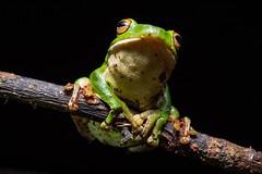 Rhacophorus moltrechti -  - Taiwan Endemic tree frog - Olympus 30mm F3.5 Macro (Akira Hsu ) Tags: olympus mzd m43 30mm f35 macro    tree frog pen omd epl5 rhacophorus moltrechti taiwan endemic