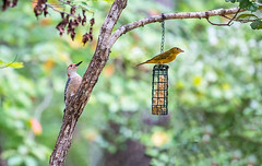 Two at the Feeder 2016 01 (Jim Dollar) Tags: jimdollar zenglen indianland sc southcarolina scenesfrommyhammock birds redbelliedwoodpecker summertanager feederphotos canon6d