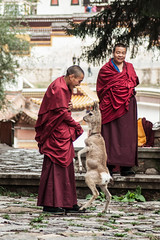 Those buddhists are playing with a deer at the break (Picocoon) Tags: buddhist tibetan temple deer play animal human monk documentary langmusi gannan china