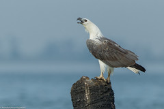 White-bellied Sea Eagle #161 (Ramakrishnan R - my experiments with light) Tags: 14tciii 14tc 2016 500mmf4 7d2 avian birding canon flickr incredibleindia nationalgeographic prime pulicat sept2016 september2016 tamilnadu aves aviafauna birdphotography birdwatching birder birds birdwatcher india myexperimentswithlight natural nature photography ramkrishr ramsfotobites twitcher water waterbody wild wildbirds wildlife whitebelliedseaeagle haliaeetusleucogaster eagle sea white bellied blagrus ichthyaetus haliaeetus leucogaster perched action open lifer lifelist 500mm 1d4 pulicut