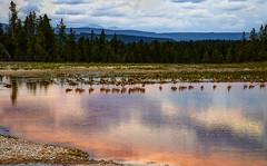 birdz1 (gotmyxomatosis69) Tags: bird birds yellowstonepark yellowstone mountains trees hotsprings yellowstonenationalpark canon canon5dmarkiii canon5d 24mm