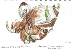 Chinese Crab Claw Narcissus (kmlusby) Tags: bulb chinese narcissus crabclawnarcissus