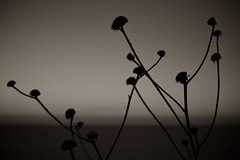 Dancing in the dark (*ZooZoom) Tags: flowers shadow sea bw plants night xp dancinginthedark