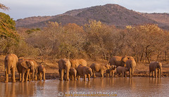 Elephants photographed on Thanda private game reserve (Photographic Africa) Tags: africa family summer elephant bird nature water grass animal horizontal natal standing river mammal outdoors one big pond legs five african tail group drinking ears safari more daytime botswana calf youngster juvenile herd tusks zulu herbivore squirting