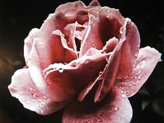Close Up of Rose (chanelchat Rachel) Tags: flowers roses nature closeup canon season floraandfaunaoftheworld panoramafotografico natureandpeopleinnature chanelchat