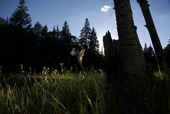 Contemplation (Reptilian_Sandwich) Tags: life blue trees iris wild summer mountains newmexico walking outdoors solitude sitting glow shadows hiking meadow highcontrast insects highlights solidarity bark thankful grasses trunks aspen backlighting eveninglight conifer blackrange mimbreslake