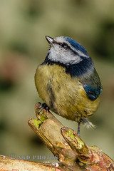 Blue Tit (Nigel Dell) Tags: winter birds flickr wildlife places hampshire fleet bluetit fsg ngdphotos