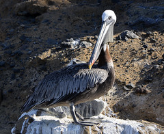 Galapagos - Panga ride - Pelican (sweetpeapolly2012) Tags: