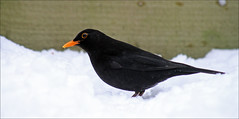 Blackbird (RestlessFiona) Tags: portrait snow profile blackbird yellowbeak snowybeak hertfordshirenaturalhistorysociety restlessfiona 21stjanuary2013