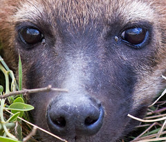 4WD Reflection (shashin62) Tags: africa reflection animal eyes kenya hyena maasaimara beautifulworldchallenges