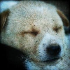 Just a little nap (ulli_p) Tags: dog macro art texture nature beautiful animal puppy thailand asia southeastasia best textured isan artisticexpression aworkofart flickraward texturedphoto bestflickrphotography artofimages magicunicornverybest mygearandme canoneoskissx5