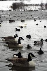Ducks in water (KelvynSkee) Tags: park winter white snow pond ducks winterscene herringtoncountrypark