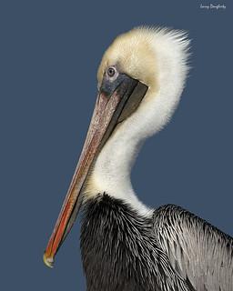 Pelican portrait.......D800