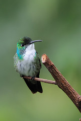 White-chested Emerald - 1769 (Len Blumin) Tags: hummingbird trinidad whitechestedemerald