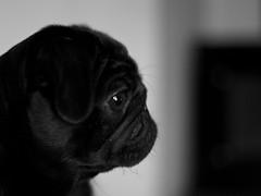IMG_4907 (Pehvanssi) Tags: portrait bw dog pug