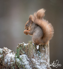 Red Squirrel (TheApertureMan) Tags: mammal scotland squirrels esquilo ardilla nationalgeographic redsquirrel coth fantasticnature alittlebeauty cairngormes coppercloudsilvernsun