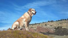 King of the Hill!! (John Bielick) Tags: dog pets animals goldenretriever mutt mixed colorado mattie places canine retriever co labradorretriever breed mixedbreed