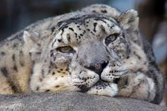 Catnap (Penny Hyde) Tags: bigcat sandiegozoo snowleopard flickrbigcats