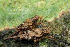 Grasshoppers (Caelifera) - DSC_6353 (nickybay) Tags: macro malaysia mating grasshopper johor caelifera endaurompinnationalpark