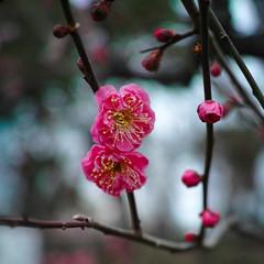 2013 Apricot (shinichiro*) Tags: winter flower macro japan osaka february crazyshin 2013    dp2m sigmadp2merrill 20130207sdi2192