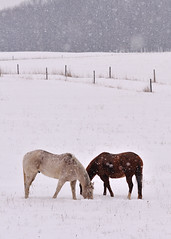 Cold Winter's Day (Neil Weaver Photography) Tags: winter horses snow field fence michigan pair pasture snowing twohorses