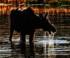 A Moose Moment (Jeff Clow) Tags: wildlife moose grandtetonnationalpark moosewilsonroad tpslandscape