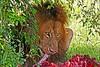 The Lion's Share (Picture Taker 2) Tags: africa wild nature beautiful animal animals closeup cat outdoors colorful pretty native eating wildlife lion bigcat lions hunter unusual wilderness plains predator upclose mammals wildebeest masaimara wildanimals otw africaanimals masimarakenya anawesomeshot