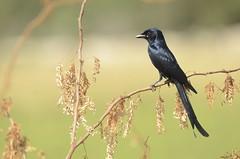 Black Drongo (Dicrurus macrocercus) (srikaanth.sekar) Tags: life wild india black bird nature nikon sigma andhra pradesh drongo 170500 dicrurus macrocercus sriharikota d7000