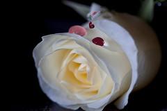 A magoa e o doloroso perdo da rosa (miza monteiro) Tags: flor rosa dor desaparece espezinhada