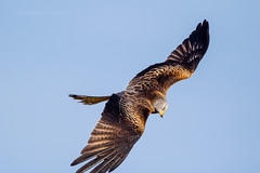 Red Kite in a dive over farmland in mid Wales, UK (Andrew Sproule Photography) Tags: uk winter wild motion bird nature wales digital outdoors photography one countryside flying photo moving inflight wings movement europe european day natural image feeding native action britain outdoor wildlife flight wing beak feathers picture dramatic conservation bluesky nobody nopeople aves farmland raptor british endangered wilderness february activity rare avian birdofprey active intheair individual powys wyevalley midwales redkite birdlife rhayader elanvalley gigrin onthewing wingsspread forkedtail 2013 andrewsproule