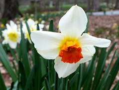 Gibbs Garden 2013 (Robert Lz) Tags: cold georgia march flickr country firstday daffodils largest elzey 2013 ballground 16million robertlz gibbsgarden