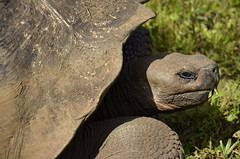 Galapagos - Santa Cruz Island - Tortoise Sanctuary - Giant Tortoise (4) (sweetpeapolly2012) Tags: