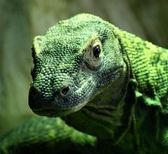 Portrait of a dragon (Jaedde & Sis) Tags: komodo varan dragon reptile green portrait texture dof challengefactorywinner thechallengefactory 15challengeswinner 3waywinner agcgsweepwinner bigmomma friendlychallenges challengegamewinner bdpc perpetualwinner a3b