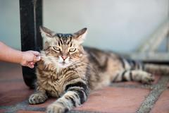 Give me a cheek (Daniel A Ruiz) Tags: pet baby cat 50mm funny hand cheek bokeh stripes d700