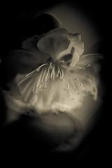"""j'aime vraiment pas tes fausses aquarelles"" - 08 (Stphane Barbery) Tags: fleur japan kyoto plum   kitano japon prunier"