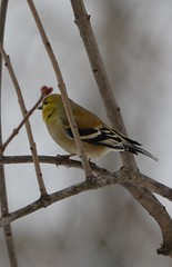 DSC_0008 (Rick The Zoo) Tags: tree bird arbre oiseau americangoldfinch chardonneret