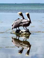 Double Vision (PelicanPete) Tags: wild two rescue reflection pelicans gulfofmexico rock couple unitedstates florida horizon release calm boulder perch westside seeingdouble southflorida doublevision floridabay rehabilitation naturalhabitat tavernier breedingplumage thefloridakeys inthewild matedpair nonprofitorg peacefulandcalm pelicanlife flkeyswildbirdcenter