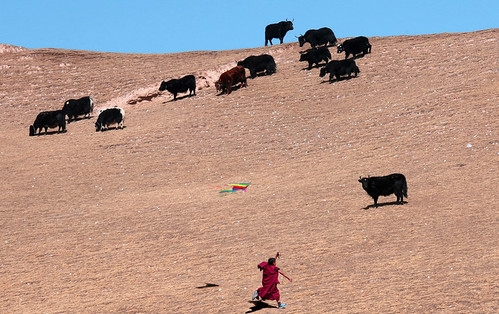1821 Kite flying among the yaks--Hezou , Gansu Province , China