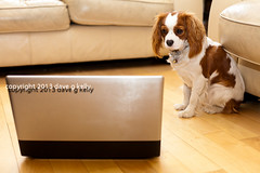 A Dog's Favourite Website (Dave G Kelly) Tags: dog pet pets animal computer technology looking laptop humour indoors spaniel woodenfloor domesticanimals curiosity kingcharlesspaniel oneanimal