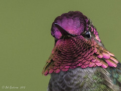 Anna's Hummingbird (Bob Gunderson) Tags: sanfrancisco california goldengatepark birds northerncalifornia hummingbirds annashummingbird bisonpaddock calypteanna coth coth5