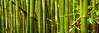 Bamboo Forest (Chris Galando Photo) Tags: travel bw panorama forest island hawaii nikon oahu panoramic bamboo tropical gitzo reallyrightstuff 105mm bh55 leefilters d700 nikond700 macropanorama thinktankhydrophobia