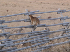 Feeling Unwelcome (USFWS Mountain Prairie) Tags: coyote jaguar puma cougar bigcats usfws mountainlion predators nationalwildliferefuge fws standoff ner usfishandwildlifeservice elkrefuge nationalelkrefuge wyomingwildlife apexpredators nwrs