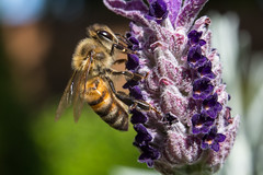 5D3_3450 (mbasilephotography) Tags: bees beesandflowers